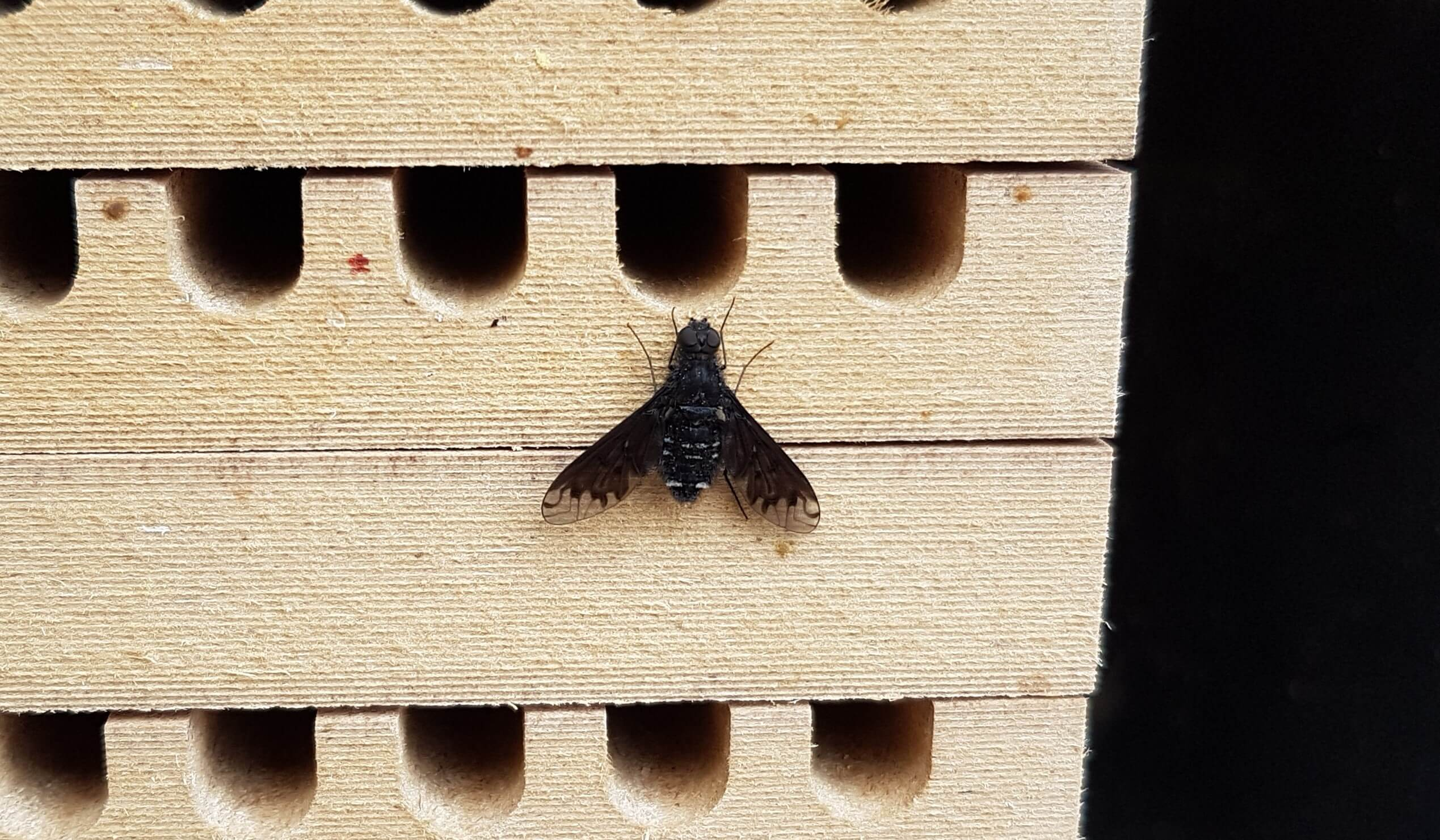 Trauerschweber an Mauerbienen Nisthilfe